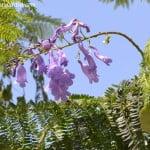 Jacaranda mimosifolia detalle de las ultimas flores en el verano