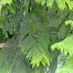 Jacaranda mimosifolia detalle del follaje hojas compuestas