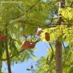 Jacaranda mimosifolia detalle del fruto en el verano