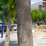 Jacaranda mimosifolia detalle del tronco de una especie adulta