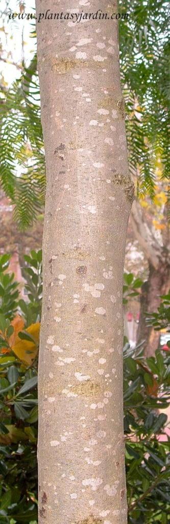 Jacaranda mimosifolia detalle tronco en una especie joven