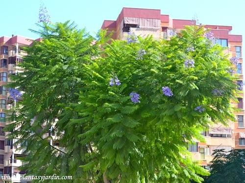 Jacaranda mimosifolia en flor segunda floracion a finales del verano