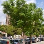 Jacaranda mimosifolia nativo de Argentina