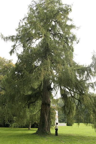 Larix decidua. Foto: Wikipedia. Autor: Jean Pol Grandmont