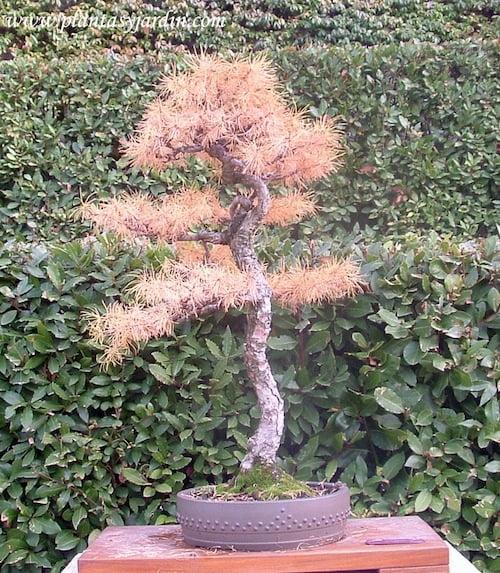 Larix decidua en bonsái