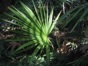 Livistona australis detalle de hoja palmada