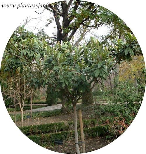 Eribotrya japonica