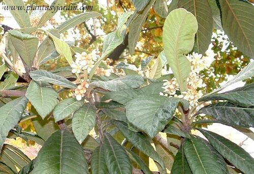 Nispero del japon con flores