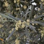 Olea europea Olivo, detalle de floración a comienzos de la primavera