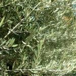 Olea europaea Olivo, detalle de follaje