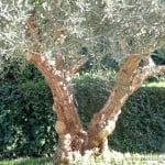 Olea europaea Olivo, detalle del tronco