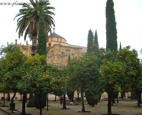 Patio de los Naranjos en la Mezquita de Córdoba, Andalucía, España.