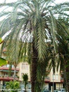 Phoenix canariensis-Palma canaria