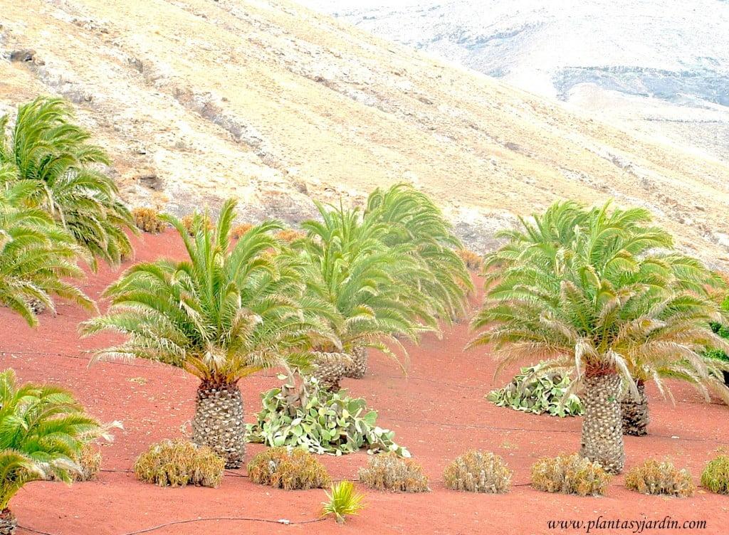 Phoenix canariensis en Lanzarote