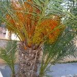 Phoenix dactylifera detalle de retoños en su base