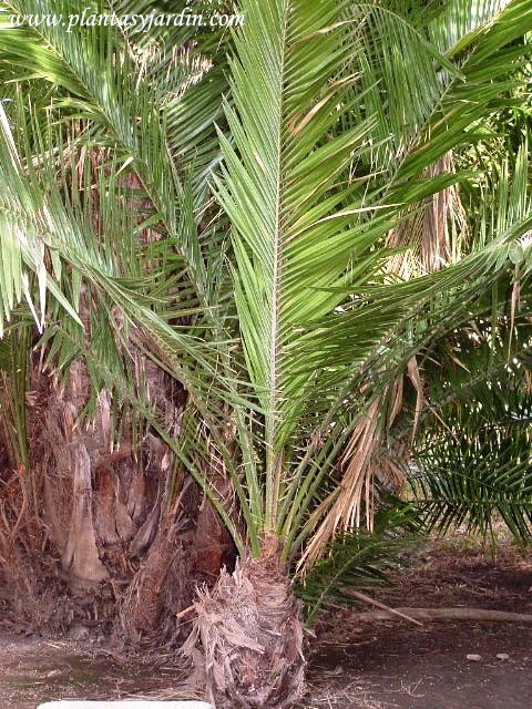 Phoenix reclinata-Datilera de Senegal