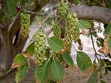 Phytolacca dioica hojas y frutos Foto Wikipedia