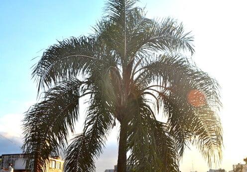 Pindó-Syagrus  romanzoffiana, hojas pinnadas y aspecto plumoso