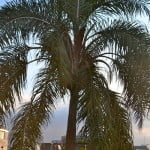 Pindó palmera de porte escultural, de tronco liso y color gris claro con cicatrices foliares