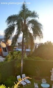 Jardín urbano, medianeras cubiertas con Ficus repens. Palmera Pindó