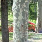 Platanus detalle de tronco