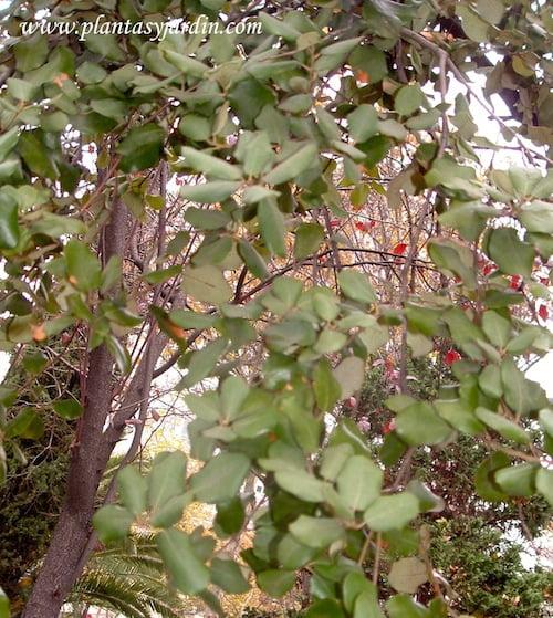 Quercus ilex detalle follaje