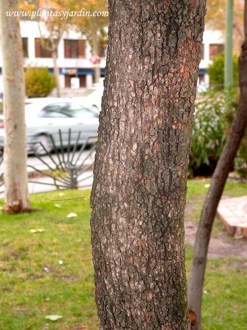 Quercus ilex detalle tronco