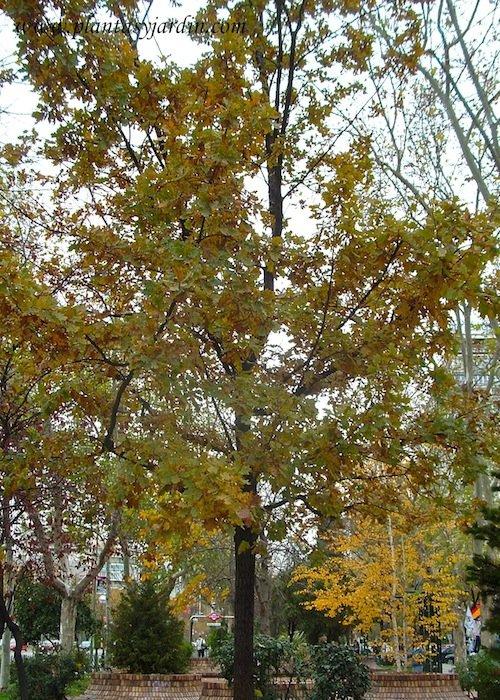 Quercus robur Roble comun