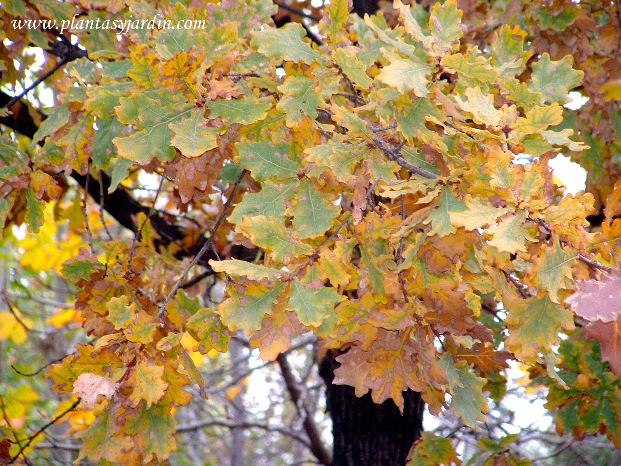 Quercus robur detalle follaje