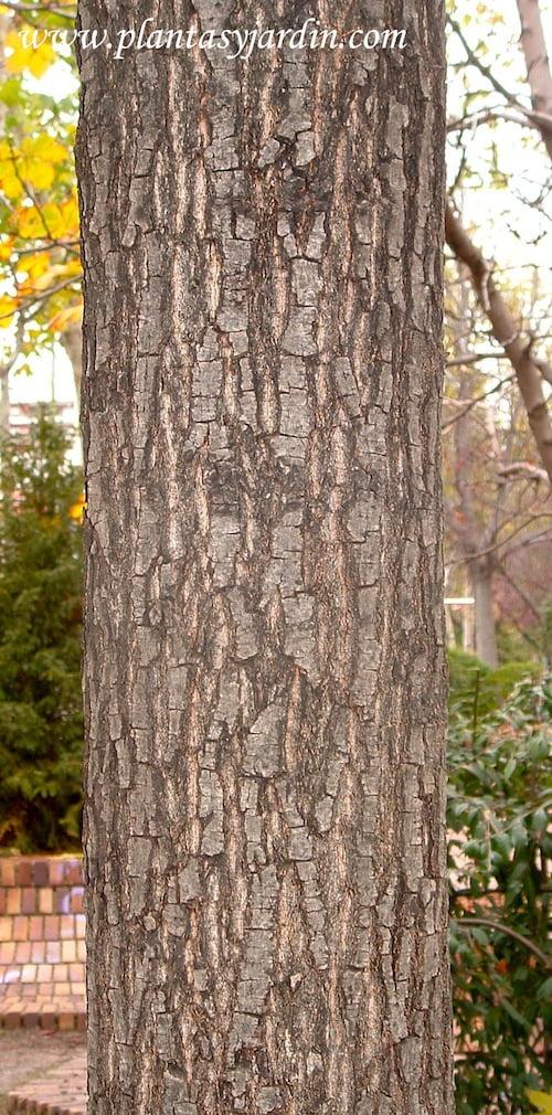 Quercus robur detalle tronco