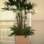 Raphis excelsa con Aglaonema y chips en piramidal de piedra paris y granza blanca