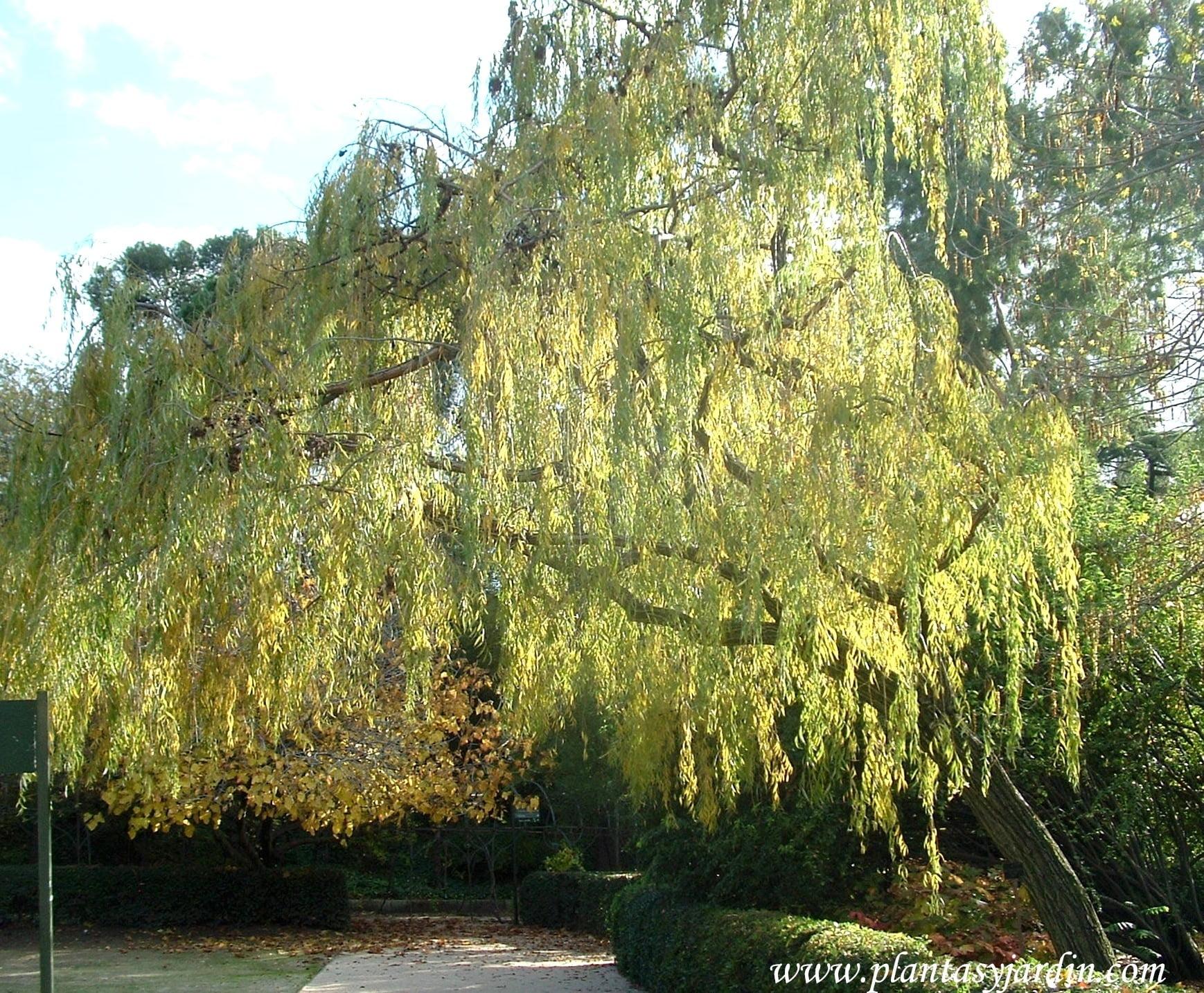 Salix babylonica-Sauce llorón