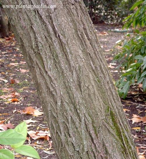 Salix babylonica, detalle tronco
