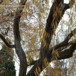 Salix babylonica en otoño copia