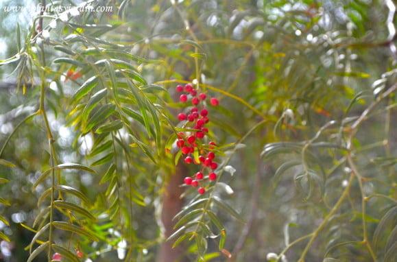 Schinus molle el falso pimentero detalle de frutos rojos en la planta en verano