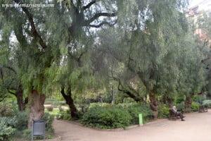Schinus molle o Aguaribay en el Turó Parc en Barcelona