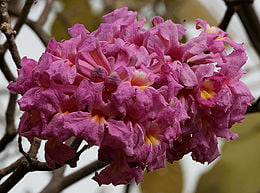 Tabebuia impetiginosa Foto Wikipedia