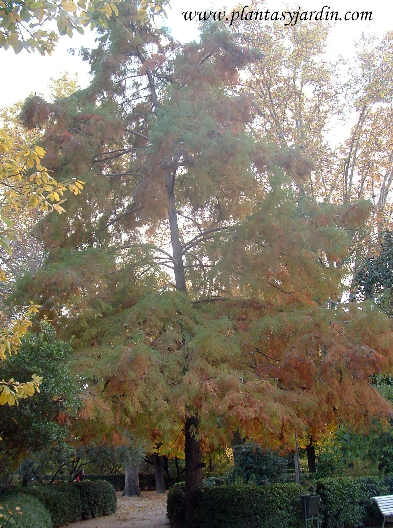 Taxodium distichum en otoño antes de perder el follaje