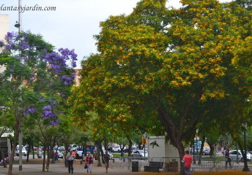 Tipuana tipu y Jacaranda mimosifolia florecidos en Barcelona