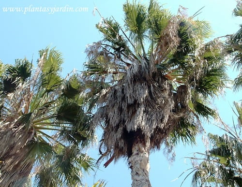 Washingtonia robusta Palma de abanico mexicana