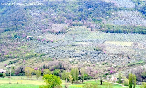 paisajes de Umbria en primavera Almendros Cercis Olivos y Alamos