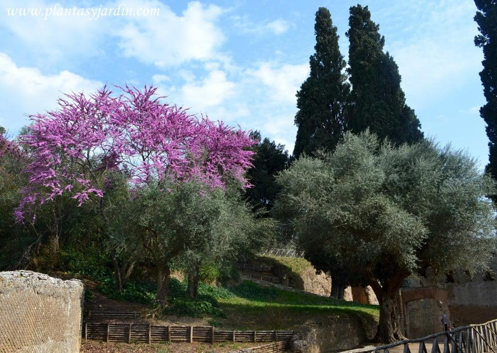 primavera romana en la Villa Adriana Olivos Cercis florecido y Cupressus sempervirens arboles tipicos del paisaje de Roma
