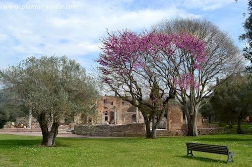 vistas de la exedra en la villa Adriana Cercis y Olivo