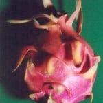 fruto de la Pithaya. Foto:cactusepiphytes.pagesperso-orange.fr