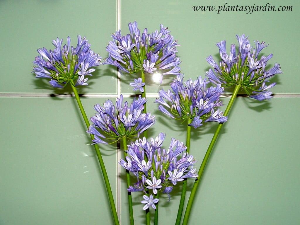 bouquet de Agapanthus