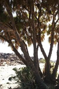 Palma Dum-Hyphaene thebaica. Foto: Wikipedia