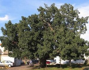 Ficus sycomorus-Sicomoro. Foto: Wikipedia
