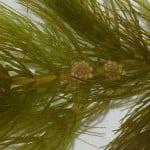 (*) Ceratophyllum demersum
