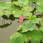 (*) Loto de la India-Rosa del Nilo.