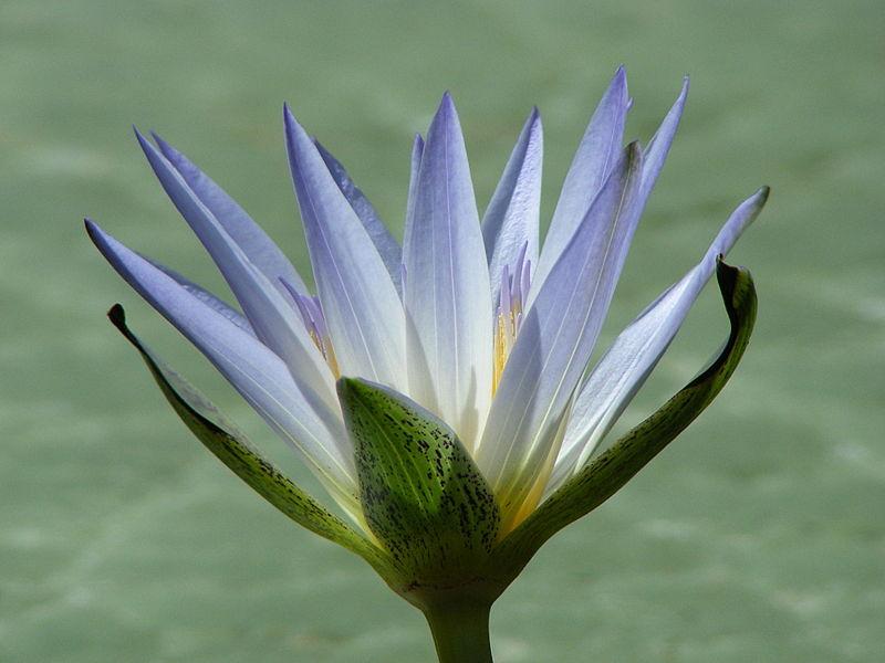 Nymphaea caerulea, el loto egipcio. Foto: Wikipedia